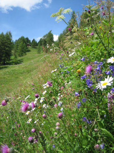 Fleurs du Val d'Herens